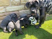 Cane Corso Puppies (Champion Bloodlines)