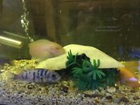 Various Malawi and cichlids