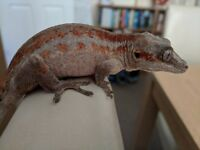 Gargoyle Gecko (f) and setup
