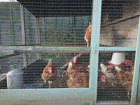 Seven hens, Smith's sectional hen house, food and all food / drinking equipment