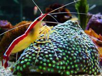 MARINE FISH / PAINTED CLEANER SHRIMP , GREAT FOR CLEANING YOUR FISH