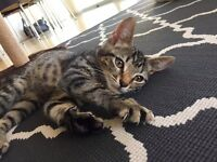 Gorgeous 10 week old Tabby kitten with everything she needs