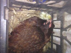 Chicks Eagleby Logan Area Preview
