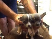 Beautiful short haired chihuahua puppies