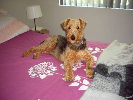 Registered Purebred Airedale Puppies for sale