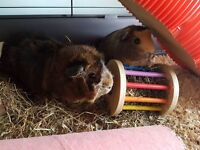 2 female guinea pigs plus indoor cage