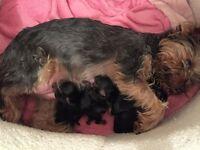 Pedigree Yorkshire Terrier amazing pups