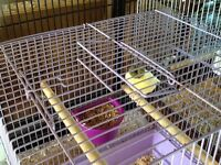 Boarder canary , gloster canary, red factor canary