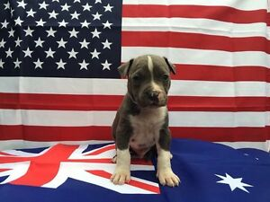 Purebred American Staffys Inala Brisbane South West Preview