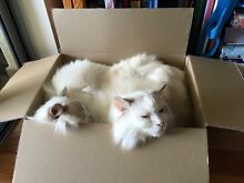 2 male ragdoll cats Toowong Brisbane North West Preview