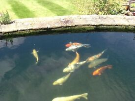 Large koi. Healthy fish for sale. Near junction 14 of the M1 motorway