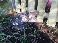 Have you found a tortoise?dont worry help is st hand,we runs rescue sanctuary for them