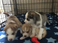 3 Husky Pups for sale