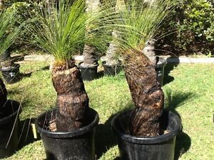 Black Boy / Grass Tree Northgate Brisbane North East Preview