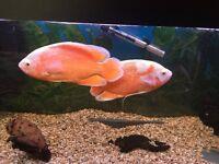 X2 ALBINO OSCAR FISH FOR SALE