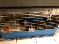 Free: 2 male guinea pigs approx 18 months old
