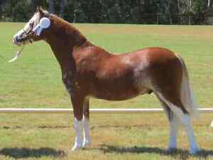 LEASE COLT WELSH A (not for sale) Maitland Maitland Area Preview