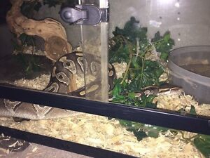 Breeding pair ball pythons Edmonton Edmonton Area image 5