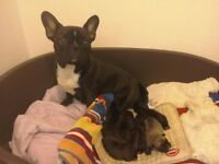 Black, Black & White and Brindle French Bulldog Puppies for sale