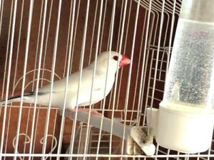 White male java finch