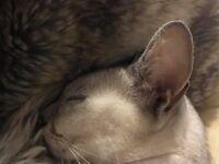 *MISSING CAT**