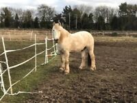 2x Highland Ponies for Loan