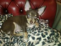 4 GORGEOUS GREEN EYED CHIHUAHUAS AGED 13 WEEKS 1 CHOC MALE 2 FAWN CHOC FEMALES & 1 TINY BLACK GIRL