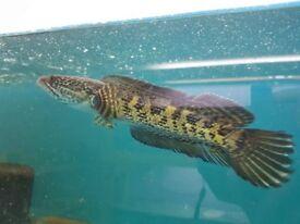 Channa aurantimaculata (orange spotted snakehead) 18-20cm