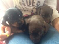 mini smooth haired dachshund puppies