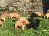 *Co Armagh* beautiful cocker spaniel puppies