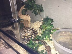 Breeding pair ball pythons Edmonton Edmonton Area image 4