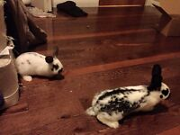Two bunnies need new home ASAP