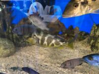 Nimbochromis venustus I have 2 large females £15 each