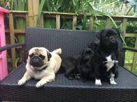 Stunning platinum pug puppies