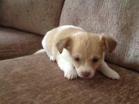 7/8th chihuahua puppies