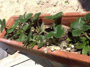 Potted Strawberry's $20 each Terracotta Mandurah Mandurah Area Preview