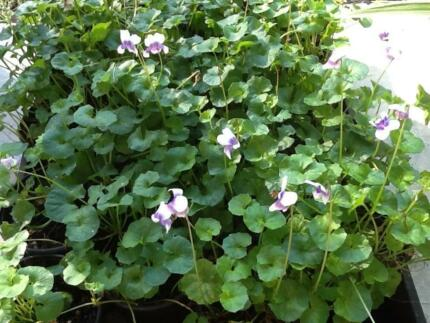 Native violets Forestdale Logan Area Preview