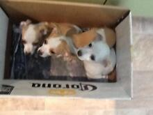 jack Russell x chihuahua pups Mindarie Wanneroo Area Preview
