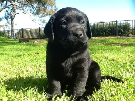 Black Labrador registered pup Micro Chip No 982  000363382540 Highfields Toowoomba Surrounds Preview