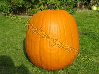 HALLOWEENKÜRBIS BIG MAX RIESENKÜRBIS SPEISEKÜRBIS HALLOWEEN KÜRBIS 10 - Halloween Kürbisse