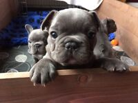 Male all Blue and all black French Bulldog puppies for sale.