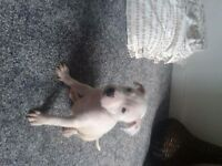 American bulldog puppie