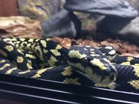 High Yellow Jungle Carpet Python + vivarium and heating pads