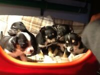 Jackahuahua puppies. Pups can be seen with mum. Pups are vet checked and chipped .played with
