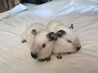2 male guina pigs