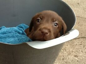 Beautiful Chocolate Labrador Puppies For Sale