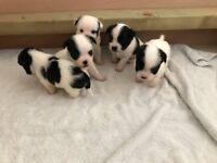 Jack Russel cross shih tzu puppies