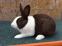 Chocolate Dutch rabbit