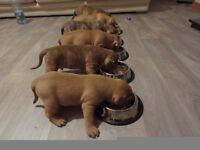 Beautiful staffy puppies