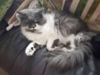 Rag doll female cat